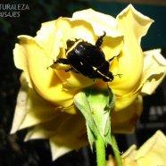 Rutela lineola - Scarabeidae