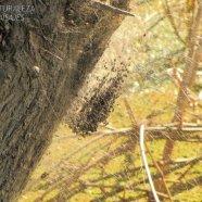 Parawixia bistriata (Eriophora bistriata) - Araneidae