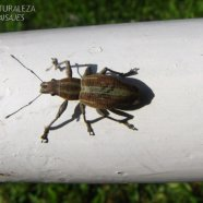 Naupactus xanthographus - Curculionidae - tribu Naupactini