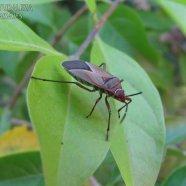Dysdercus sp. - Pyrrhocoreidae