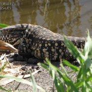 Aunque se la conoce como iguana es una especie diferente (Tupinambis merianae)