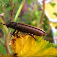 Bicho Taladro - Diploschema rotundicolle - Cerambycidae - tribu Tourneutini