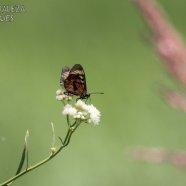 Mariposa Perezosa