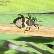 Dysdercus - Pyrrhocoreidae