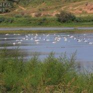 Gran cantidad de Cisnes en laguna Esmeralda