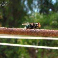 Mosca verde - Callitroga sp. - Calliphoridae