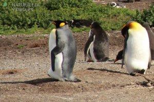 0002 - Pingüino Rey