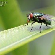 Mosca Verde - Phaenicia sericata
