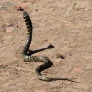 No venenosa (Liophis poecilogyrus)