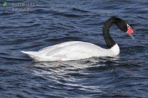 0117 - Cisne Cuello Negro