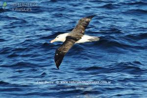 0036 - Albatros Ceja Negra