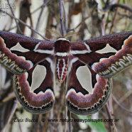 Mariposa de la Ventana o de las chilcas (Rothschildia jacobaeae, familia Saturniidae)