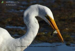 0087 - Garza Blanca (P)