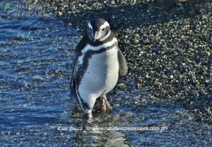 0008 - Pingüino Patagónico