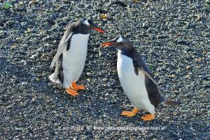 0005 - Pingüino De Vincha